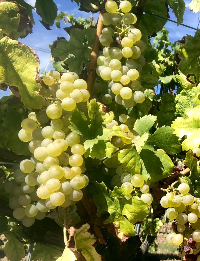 Pfälzer Weintrauben